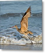 Marbled Godwit Taking Off On Beach Metal Print