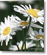 Marguerite Blossom Metal Print