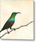 Marico Sun-bird Colors Metal Print