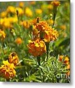 Marigold Flowers Metal Print
