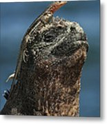 Marine Iguana And Lava Lizard Metal Print