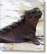 Marine Iguana Galapagos Metal Print