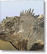 Marine Iguana Male Santa Cruz Island Metal Print