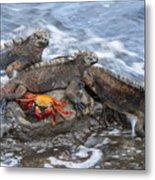 Marine Iguana Trio And Sally Lightfoot Metal Print