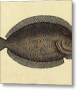 Mark Catesby English, 1679 - 1749, The Sole Pleuronectes Metal Print