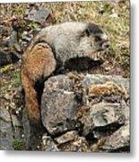 Marmot 1 Metal Print