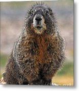Marmot Metal Print