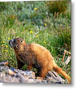Marmot In Spring Metal Print by Rebecca Adams
