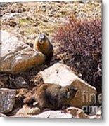 Marmots On Mount Evans Metal Print