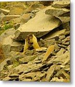 Marmots Playing Metal Print