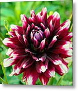 Maroon And White Dahlia Flower In The Garden Metal Print