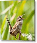 Marsh Wren Singing For Spring Metal Print