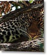 Masai Mara Leopard  Metal Print
