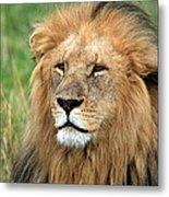 Masai Mara Lion Portrait    Metal Print
