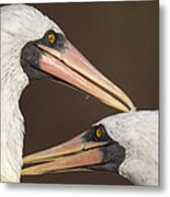 Masked Booby Couple Allopreening Metal Print