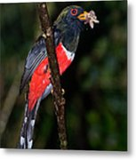 Masked Trogon With Moth Metal Print