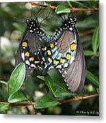 Mating Swallowtails Metal Print
