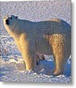 Mature Polar Bear Metal Print