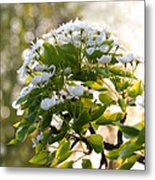 May Pear Blossoms Metal Print