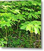 Mayapple Plants Metal Print