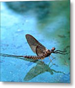 Mayfly Reflected Metal Print