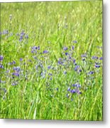 Meadow Lupine Metal Print
