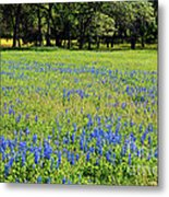 Meadows Of Blue And Yellow. Texas Wildflowers Metal Print