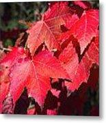 Red Maple Leaves Metal Print