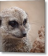 Meerkat 7 Metal Print by Ernie Echols