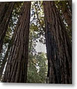 Meeting Of The Sequoias Metal Print
