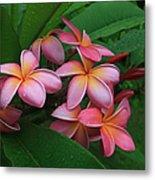 Melia Hae Hawaii Pink Tropical Plumeria Keanae Metal Print