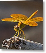 Mexican Amberwing Metal Print