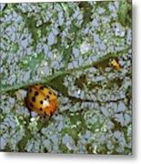 Mexican Bean Beetle Metal Print