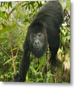 Mexican Black Howler Monkey Belize Metal Print
