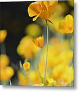 Mexican Gold Poppies Metal Print