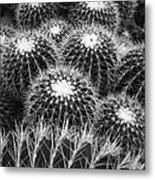 Mexican Golden Barrel Cacti Metal Print