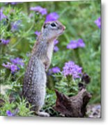 Mexican Ground Squirrel In Wildflowers Metal Print