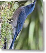 Mexican Jay Drinking - Phone Case Design Metal Print
