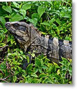 Mexican Spinytailed Iguana  Metal Print