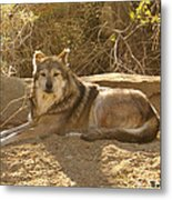 Mexican Wolf Close Up Metal Print