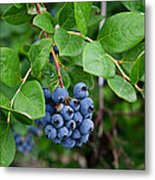 Michigan Blueberries Metal Print