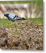 Michigan Rock Pigeon Metal Print