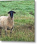 Middle Child - Blackfaced Sheep Metal Print