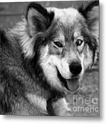 Miley The Husky With Blue And Brown Eyes - Black And White Metal Print by Doc Braham