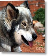 Miley The Husky With Blue And Brown Eyes Metal Print by Doc Braham