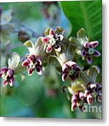 Milkweed Bloom Metal Print
