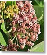 Milkweed Flowers In Bud Metal Print