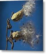Milkweed Pods On A Blue Background  Metal Print