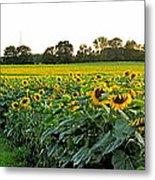 Millions Of Sunflowers Metal Print by Danielle  Parent
