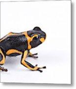 Mimic Poison Dart Frog Metal Print
